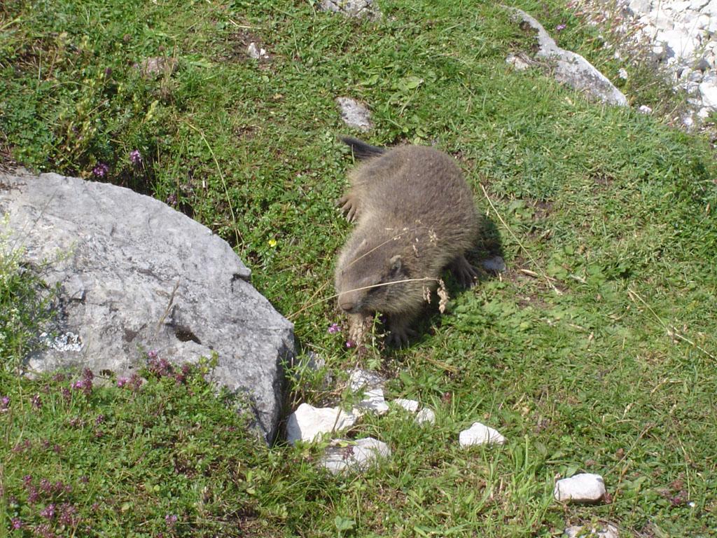 Une marmotte apprivoisée, en Autriche