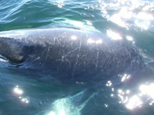 Baleine, au large de Cape Cod, USA