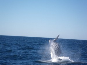 Saut de baleine, au large de Cape Cod (Massachusetts)