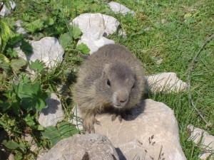 Marmotte peu farouche, dans les alpes