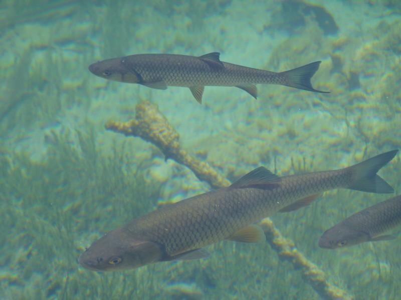 poissons-lacs-de-plitvice